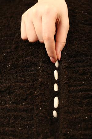 Female hand planting white bean seeds in soil, closeup