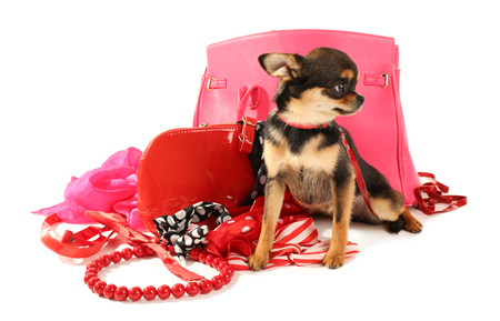 Cute chihuahua puppy with female bags isolated on white Stock Photo