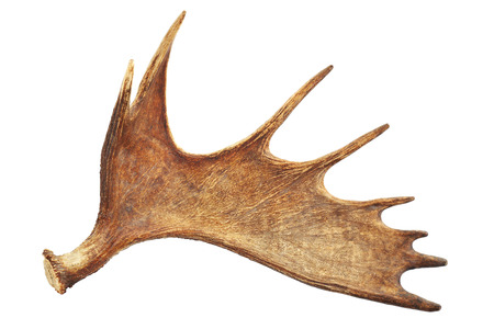 Moose antler isolated on white Zdjęcie Seryjne