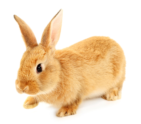 Cute brown rabbit isolated on white Stock Photo