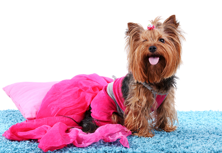 Cute Yorkshire terrier dog on blue carpet isolated on white Stock Photo