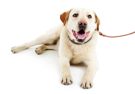 Cute dog with leash isolated on white background Banque d'images