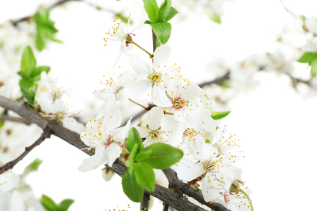 Flowering branch, closeup