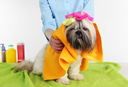 Hairdresser towel Shih Tzu dog in barbershop isolated on white