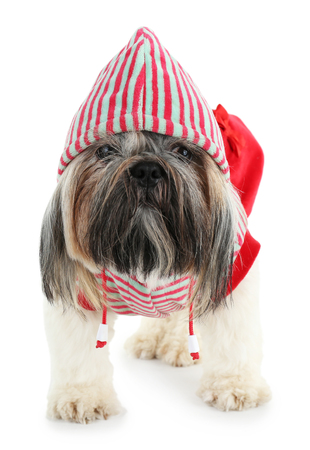 Cute Shih Tzu in red striped hat isolated on white