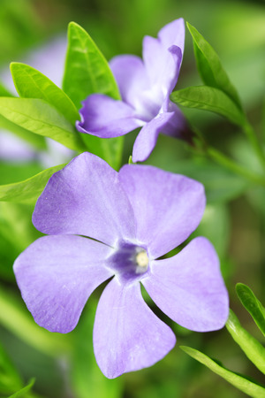 Periwinkle (Vinca minor) plant with flowers