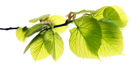 Branch with spring leaves isolated on white Stock Photo