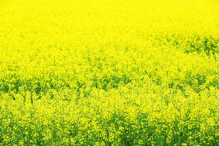 Beautiful rape in field Stock Photo