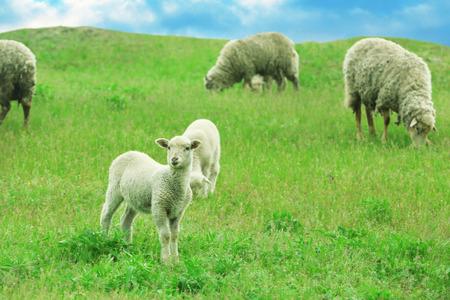 Sheeps grazing in meadow