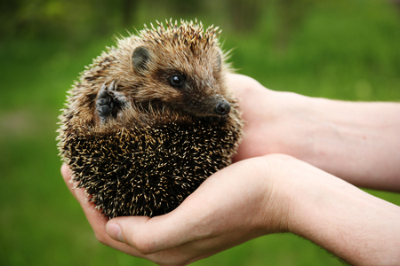 Hands holding hedgehog outdoors