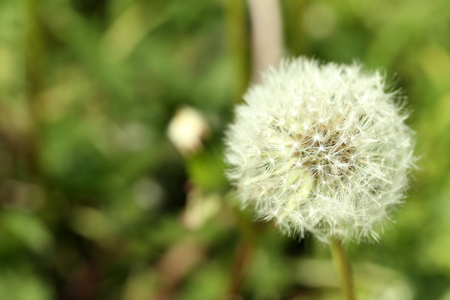 Dandelion flower outdoors