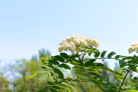 Flowering branch of rowan tree over blue sky background