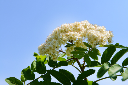 Flowering branch of rowan tree over blue sky background