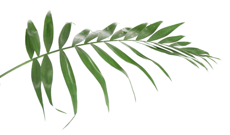 Beautiful palm leaf isolated on white 스톡 콘텐츠 - 101314811