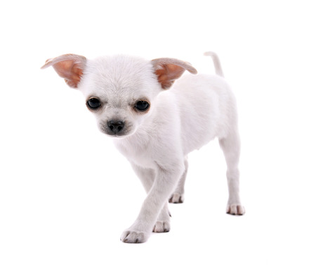 Adorable chihuahua dog isolated on white Stok Fotoğraf