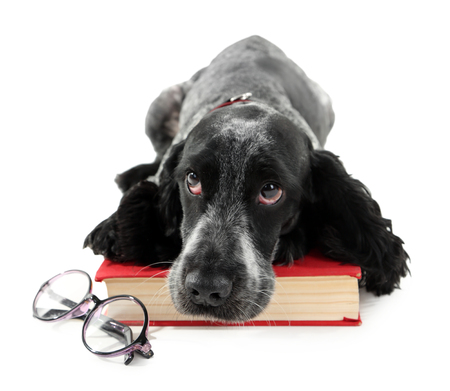 Russian spaniel with book and glasses isolated on white Stok Fotoğraf
