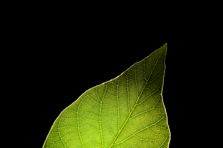 Green leaf on black background