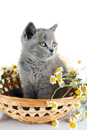 Cute gray kitten in wicker bowl with chamomiles isolated on white