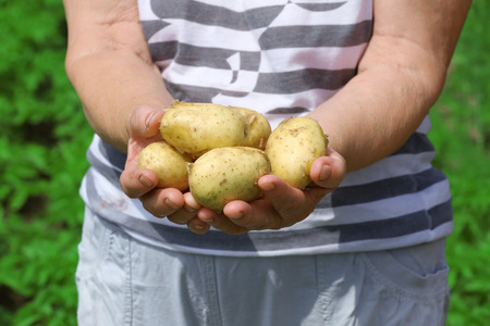 Female handful of new potatoes in garden 스톡 콘텐츠