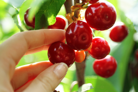 Female hand picking cherries from branch in garden 版權商用圖片