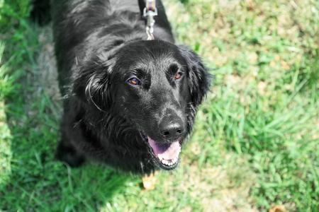 Portrait of big black dog over green grass background