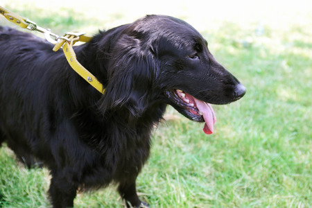 Portrait of big black dog with leash over green grass background