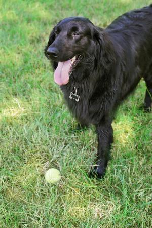 Playful big black dog over green grass background