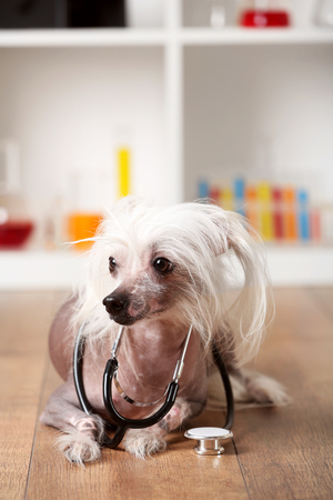 Hairless Chinese crested dog with stethoscope in laboratory Stock Photo