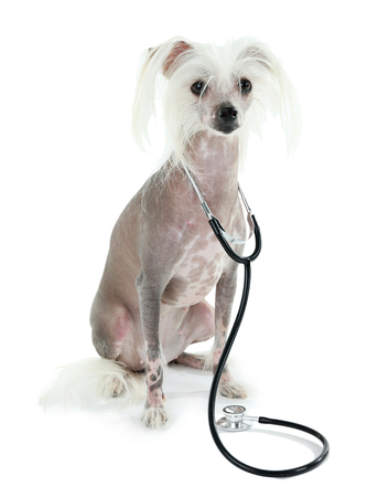 Hairless Chinese crested dog with stethoscope isolated on white