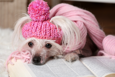 Hairless Chinese crested dog with book in room