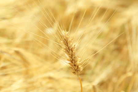 Ears of wheat close up Stock Photo