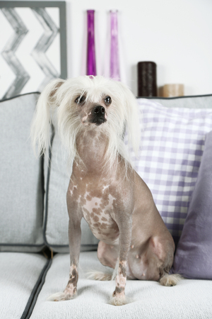 Chinese Crested dog resting on sofa, indoors Stock Photo