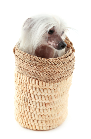 Chinese Crested dog in wicker bag isolated on white