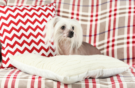 Chinese Crested dog resting on sofa, indoors Stockfoto