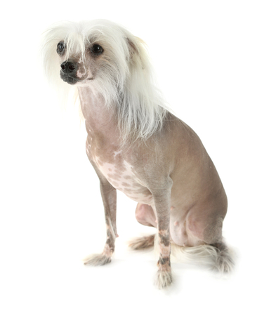 Chinese Crested dog isolated on white Banco de Imagens