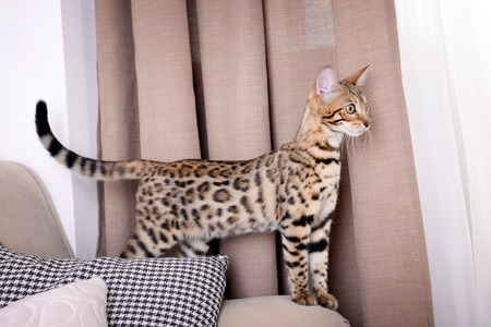 Beautiful Bengal kitten on sofa in room 免版税图像