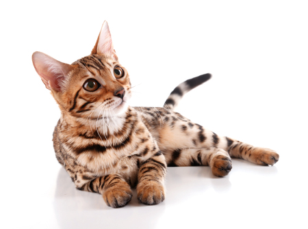 Beautiful Bengal kitten isolated on white Imagens
