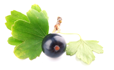 Wild black currant with green leaves isolated on white Stock Photo