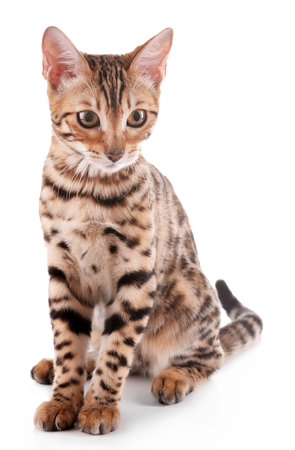 Beautiful Bengal kitten isolated on white 免版税图像
