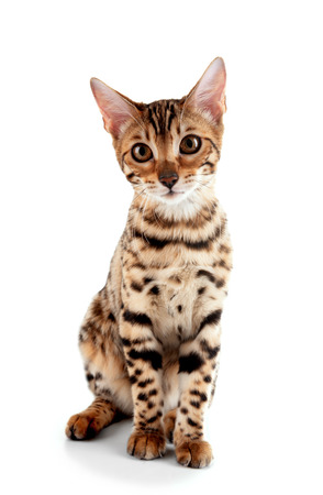 Beautiful Bengal kitten isolated on white Banco de Imagens
