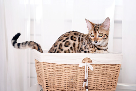 Beautiful Bengal kitten in basket at home
