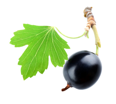 Wild black currant with green leaf isolated on white Reklamní fotografie