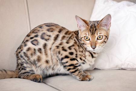 Beautiful Bengal kitten on sofa in room Imagens