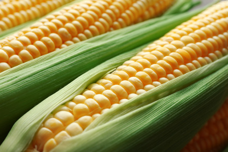 Fresh corn on cobs, closeup