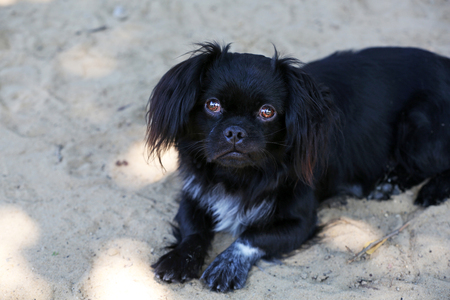 Cute small pekingese lying on sand outdoors Stock Photo