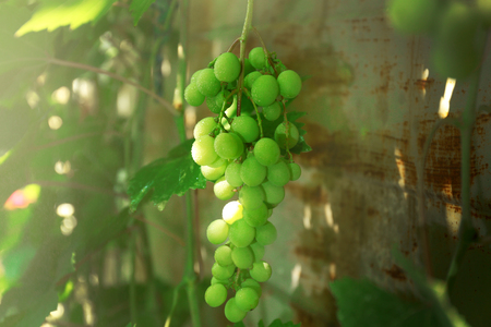 White grapes with green leaves in the garden