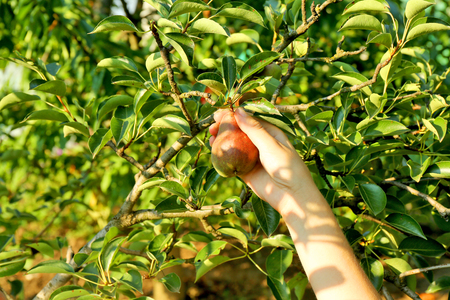 Female hand picking pear from tree