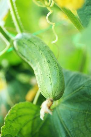 Cucumber growing in garden Archivio Fotografico