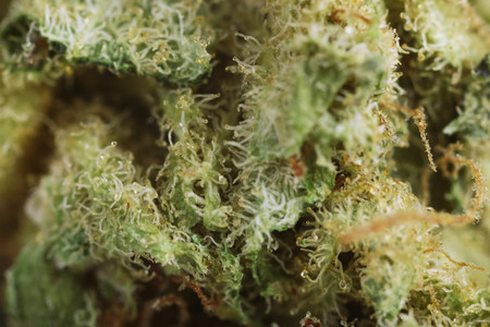 Medical dry cannabis close up Standard-Bild