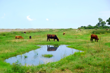 Cows grazing in summer meadow near lake Stock Photo